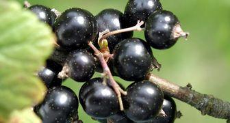 Вредители и болезни смородины черной, красной и белой