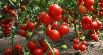 Особенности подвязки и схемы пасынкования помидоров фото