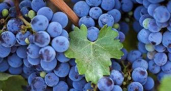 Правила ухода за виноградником в июле
