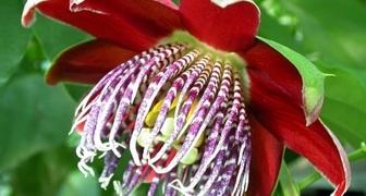 Решаем проблему с отсутствием цветов у пассифлоры