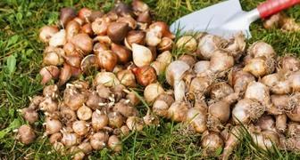 Выкапываем луковичные цветы и закладываем на хранение