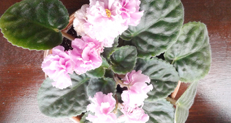 Размножение фиалок листьями фото