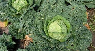 Болезни капусты: фото, описание и методы борьбы с ними