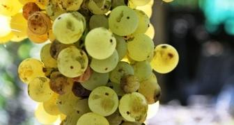 Диплодиоз винограда (лат. Diplodia)