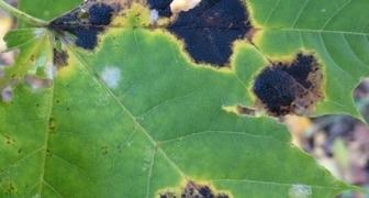 Черная пятнистость - сухорукавность винограда (англ. Branch necrosis)