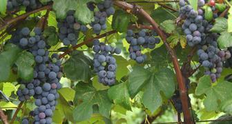 Уход за виноградом в августе: подробный календарь работ фото