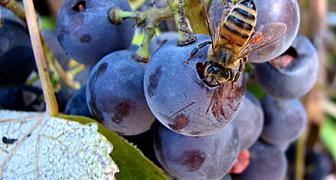 Защищаем ягоды винограда от ос и шершней