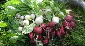 Повторный посев и подготовка земли после сбора урожая фото