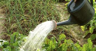 Борная кислота - применение в огороде. Признаки недостатка бора фото