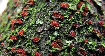 Туберкуляриоз (лат. Tubercularia) или усыхание ветвей ягодников фото