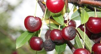 Вредители и болезни вишни - борьба с ними, фото симптомов фото