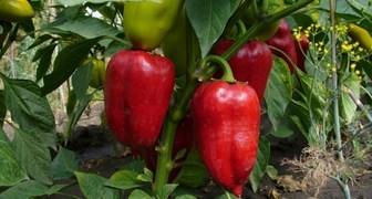 Подкормка перцев во время цветения и плодоношения