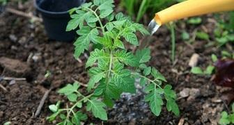 Аммиак - применение на огороде для подкормки и защиты от вредителей фото