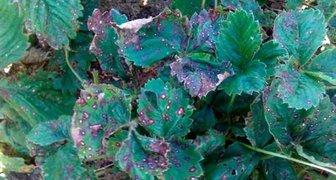 Рамуляриоз или белая пятнистость (лат. Ramularia betae Rostr)