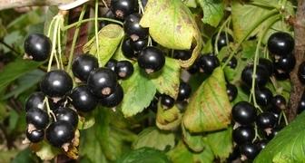 Сорта черной смородины крупноплодные для Урала и Подмосковья