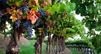 Ухаживаем за виноградом в октябре: полив, предзимняя обрезка и укрытие