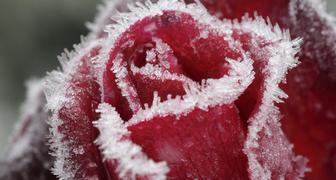 Как помочь розам выжить зимой