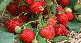 Чем подкормить клубнику во время цветения и плодоношения фото