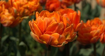 Когда выкапывать тюльпаны после цветения: сроки и особенности хранения фото