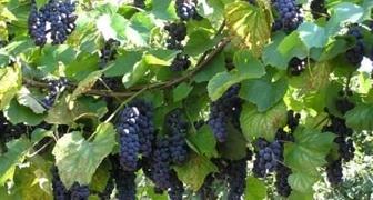 Как вырастить виноград из косточки и ухаживать за ним