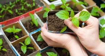 Выращиваем рассаду: проблемы и их решения фото