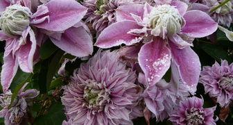 Клематисы - размножение семенами, зелеными черенками и отводками