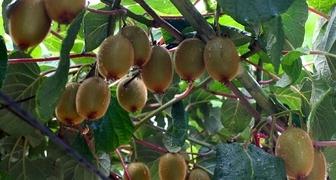 Как вырастить киви из семян в домашних условиях