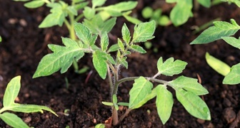 10 ошибок при выращивании рассады помидоров фото