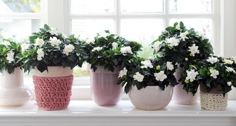 Обеспечиваем комнатным цветам пышное и продолжительное цветение