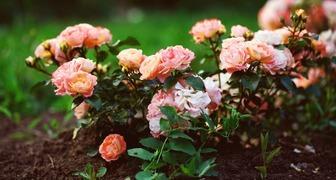 6 ошибок при выращивании садовых роз
