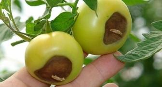 Вершинная гниль томатов и меры борьбы с ней фото