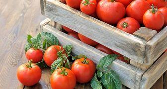 Пять приемов, которые помогут увеличить урожай томатов