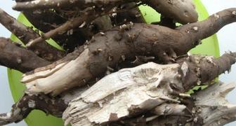 Корень подсолнуха - лечебные свойства и применение в народной медицине