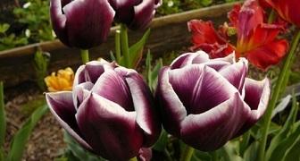 Тюльпаны - посадка и уход в открытом грунте в Подмосковье и на Урале