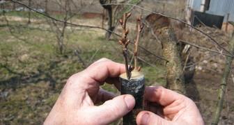 Как правильно прививать деревья фото