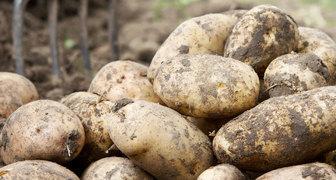 Как получить ведро отборного картофеля с одного куста