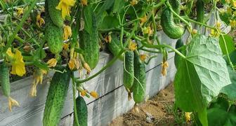 Йод и зеленка - против болезней огурцов