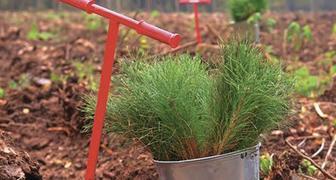 Посадка хвойников на даче, правила ухода за хвойными растениями