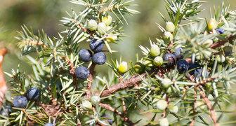 Секреты выращивания можжевельника в открытом грунте