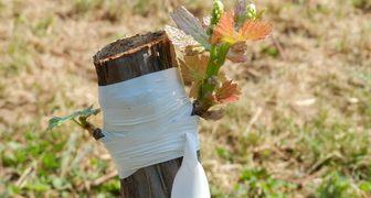 Прививка винограда весной - видео, фото и подробное описание процедуры