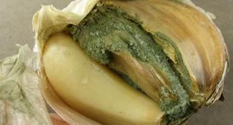 Пенициллез или зеленая плесень (лат. Penicillium Link) фото