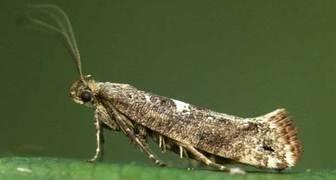 Луковая моль (лат. Acrolepiopsis assectella)