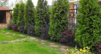 Основные правила выращивания туи на дачном участке