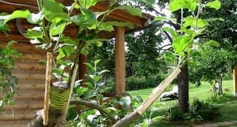 Секреты прививки плодовых деревьев и кустарников