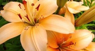 Украшение цветника – лилия: технология посадки и секреты выращивания