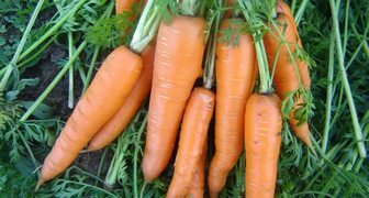 Необычный и эффективный способ посева моркови