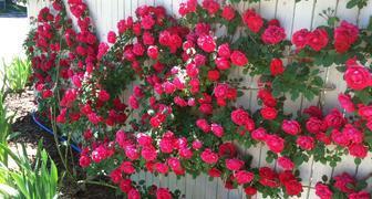 Выращиваем в саду плетистые розы - правила посадки и ухода
