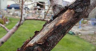 Очистка и побелка стволов плодовых деревьев фото