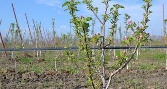 Особенности ухода за молодыми яблонями