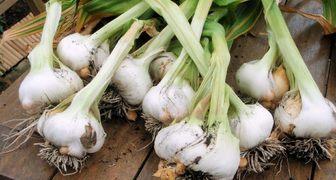 Чем подкормить чеснок, в том числе весной, а также как удобрять, чтобы